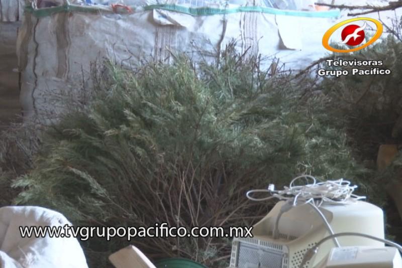 Ponguinguiola recibió más de 600 pinos a reciclaje