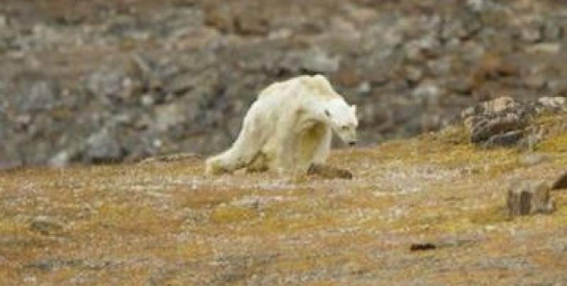 Dramática imagen de oso polar muriendo de hambre en Ártico sin nieve
