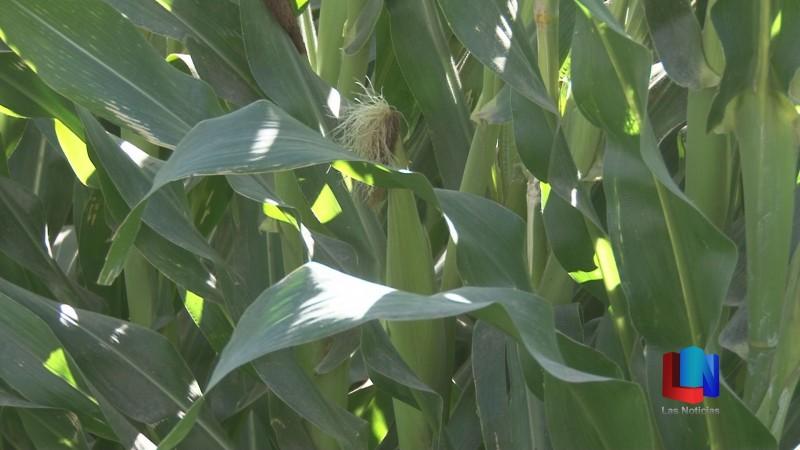 Reportan daños en cultivos del Yaqui