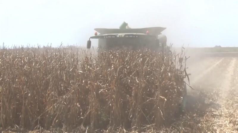 No satisface precio base del maíz a productores: AARFS