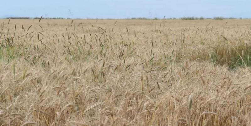 Pactan ingreso objetivo para la producción de trigo