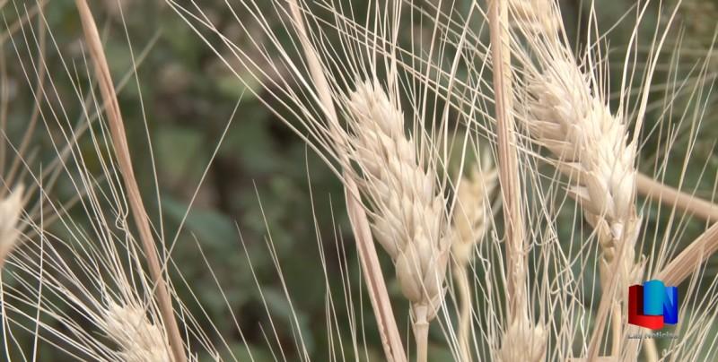 Avance del 23% en trilla de trigo
