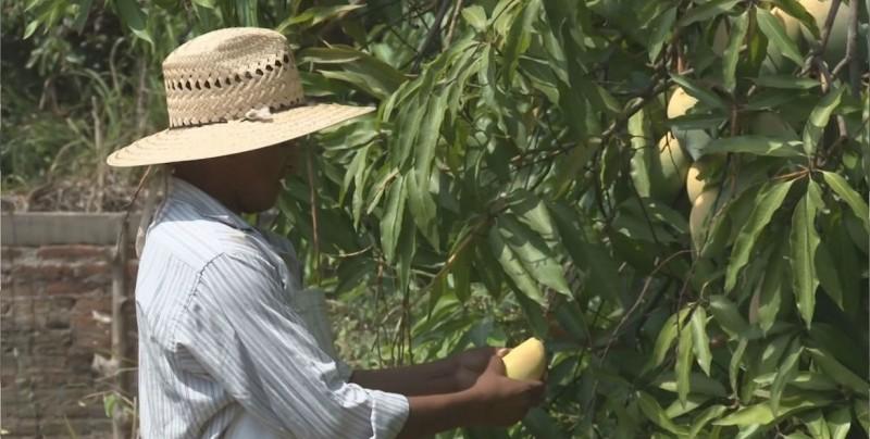 Piden a industrializadores de mango apegarse a normas de sanidad