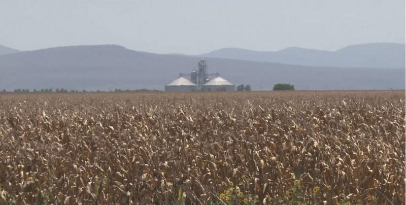 Contratadas mas de 4.4 millones de toneladas de maíz
