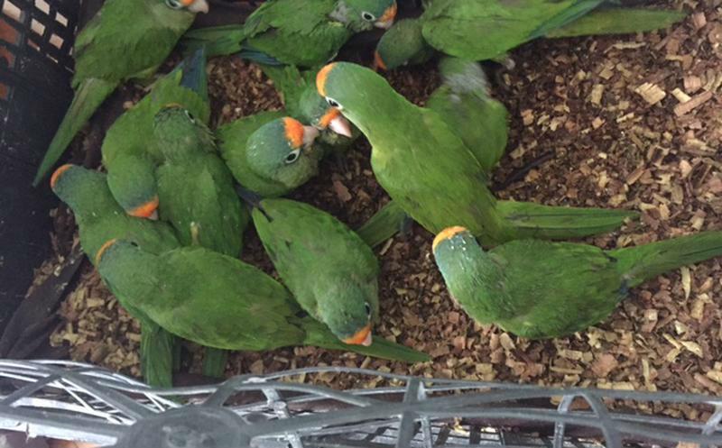 """Decomisan polluelos de perico """"frente naranja"""" en Mazatlán"""
