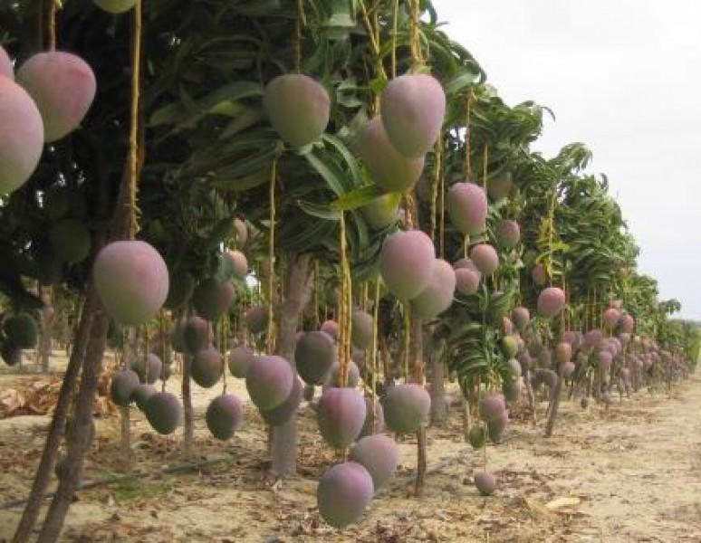 Robo hormiga de mango afecta a productores