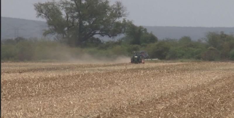Avanzan las trillas de maíz en Sinaloa