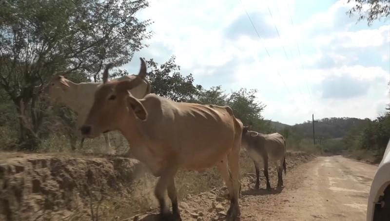 Afecta sequía a productores de ganado