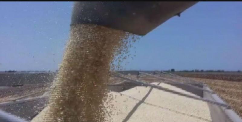 Trillas de maíz inician con buenos rendimientos