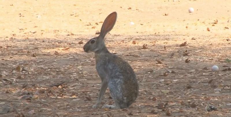 Liebres se confunde con los conejos