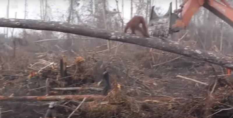 #Video Orangután defiende su hogar; se enfrenta a excavadora que lo destruía