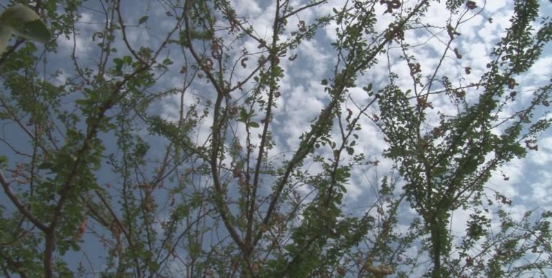 El fruto de Guamúchil es una delicia en temporada de sequía