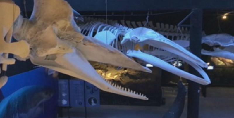 Presumen el gigante esqueleto de una ballena azul