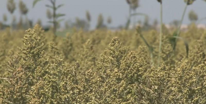 A favor la CNC  de suspensión de entrega de semilla de sorgo