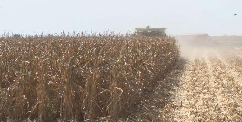 Trillas de maíz registran un avance del 96 por ciento