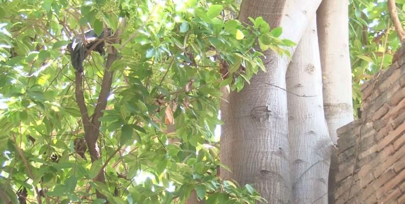 El árbol de Higuera necesita condiciones especiales para crecer