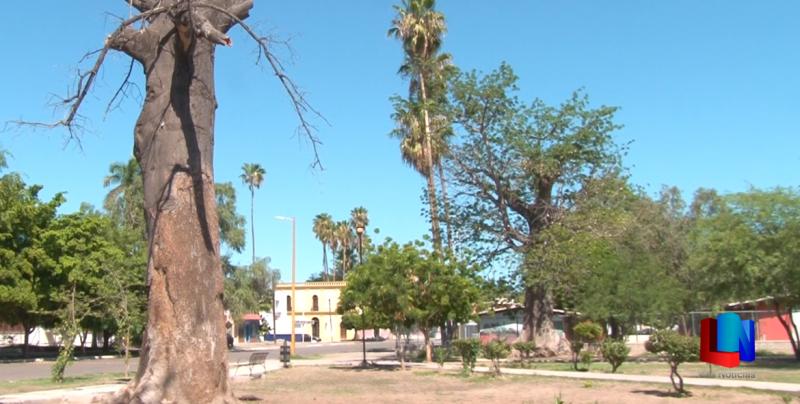 Desaparecen iguanas de árboles de Cócorit
