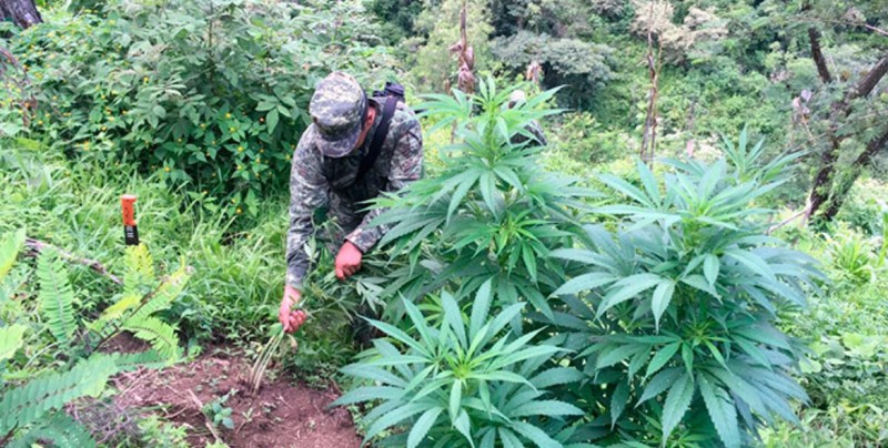 Militares destruyen plantíos de marihuana en Baja California