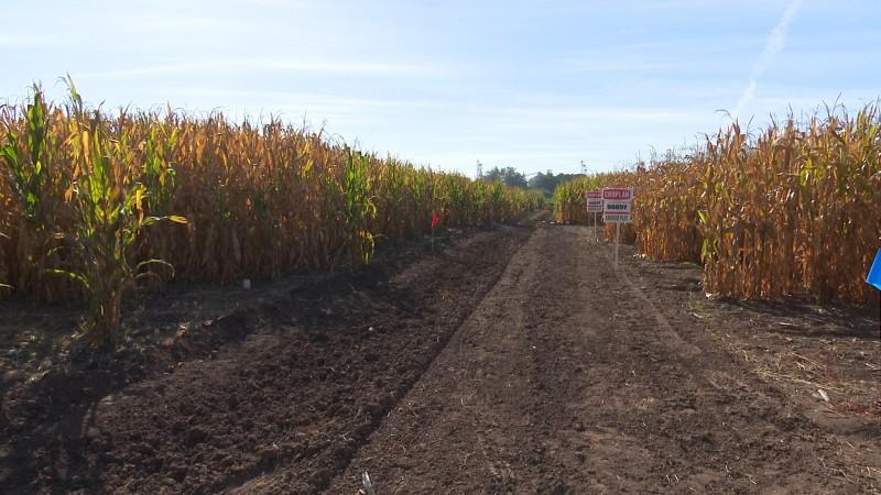 Reportan afectaciones en cultivos por lluvias