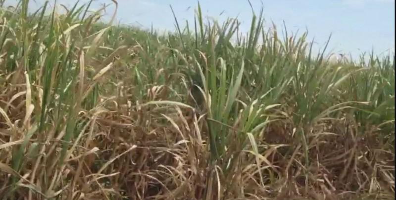 Buscan nuevas variedades de caña de azúcar para Eldorado