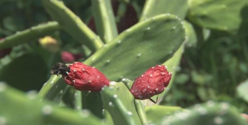 El nopal es la planta distintiva de México