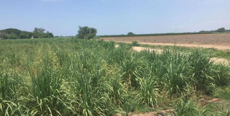 En riesgo de secarse 5 mil 400 hectáreas de caña de azúcar