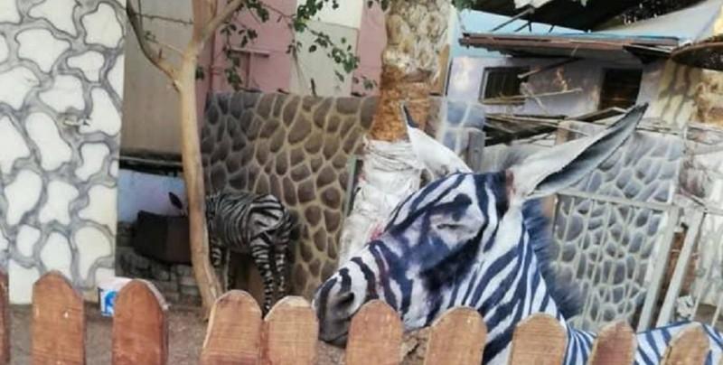Zoológico pinta rayas negras en burros para hacerlos pasar por cebras