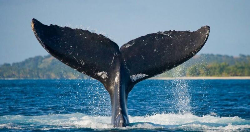 Confirman hallazgo de un híbrido de ballena y delfín en Hawái
