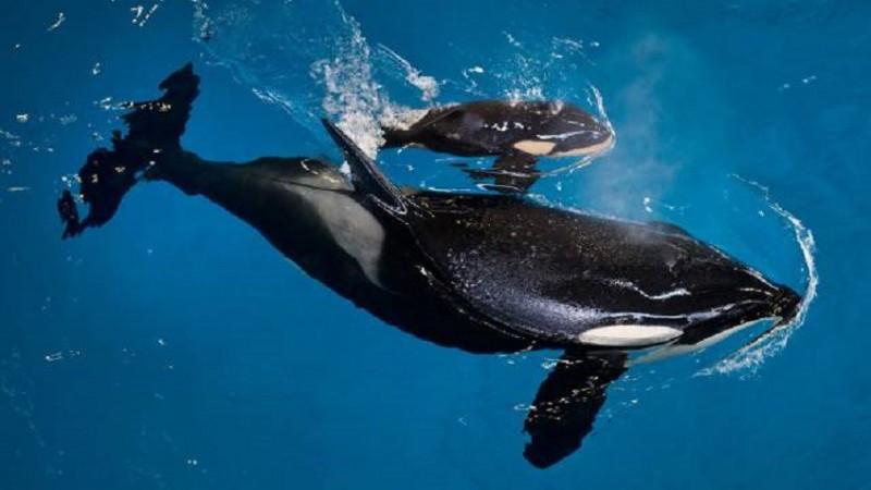Orca busca sostener a flote en el agua a su cría ya muerta, por varios días