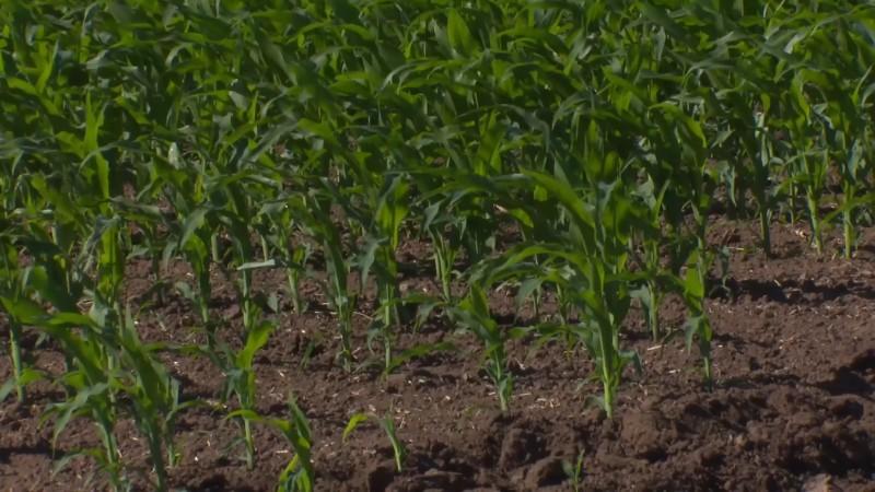 Buenas expectativas para la cosecha de soya en El Carrizo