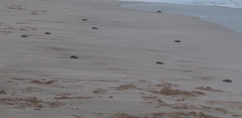 Más de 180 nidos de tortuga protege Acuario Mázatlán