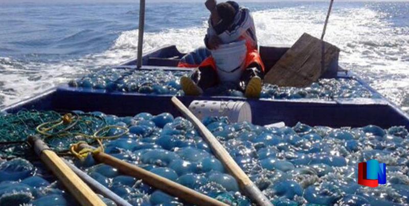 En Sonora se pescaron más de 60 mil toneladas de medusa