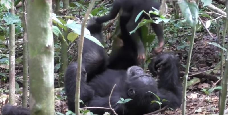 #Video ¡Qué tierno! Chimpancé juega a los aviones con una cría