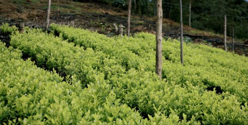 La ONU reporta que en Bolivia se incrementaron los cultivos de coca en un 6 %