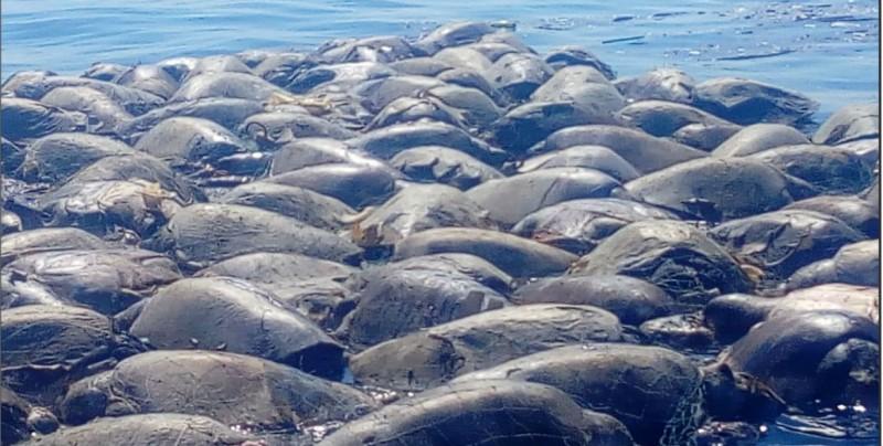 Mueren 300 tortugas marinas por red de pesca en Oaxaca