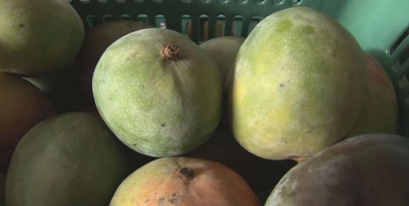 Se redujo la producción de mango en la zona sur de Sinaloa, durante la temporada que está por concluir