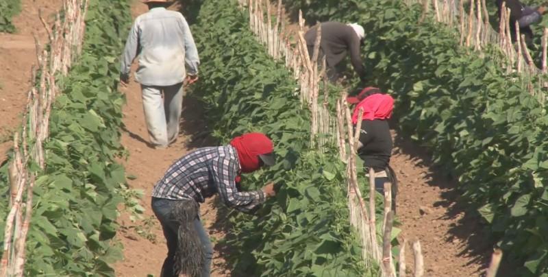 Inicia el ciclo hortícola en Sinaloa, estiman sembrar 50 mil hectáreas