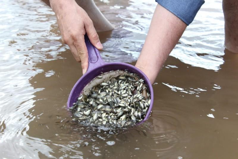 Gobierno del estado ha entregado 15 millones de Alevines de Tilapia