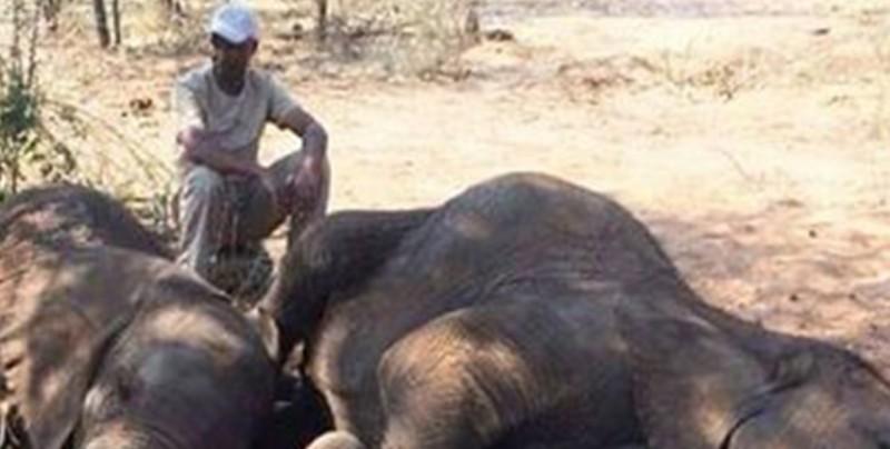 Hallan en África 87 cadáveres de elefantes sin sus colmillos