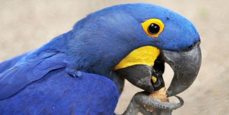 Guacamayos azules al borde de la extinción