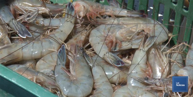 En Huatabampo, capturan hasta 170 kilos de camarón por panga