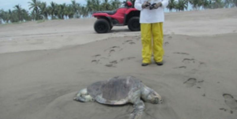 Investiga PROFEPA muerte de 90 tortugas en playas del sur de Sinaloa
