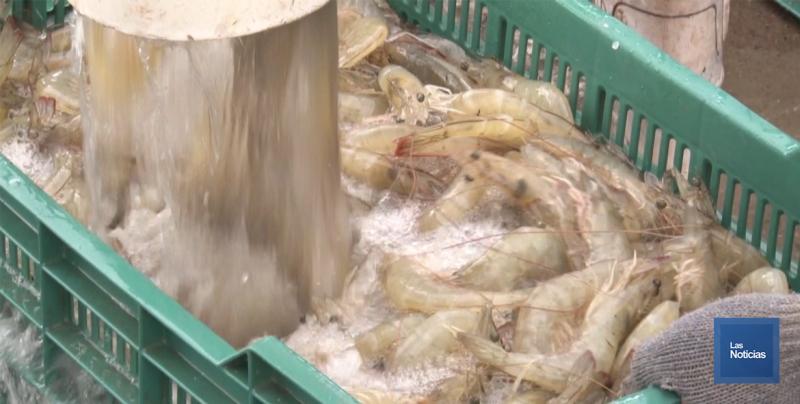 Se generaliza la cosecha de camarón en Sonora