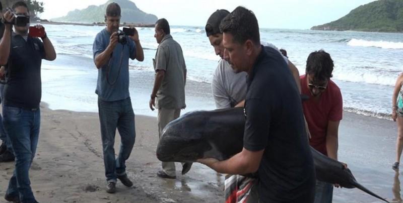 """Tras huracán """"Willa"""" delfines quedan varados en Mazatlán"""