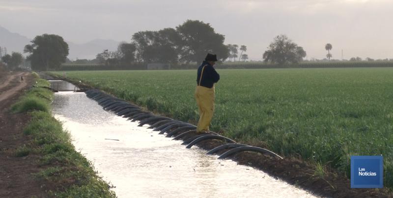 En todo su esplendor la siembra de cultivos en el Valle del Yaqui