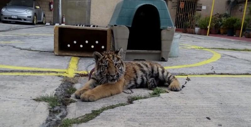 Autoridades decomisan tigre siberiano en restaurante de CDMX