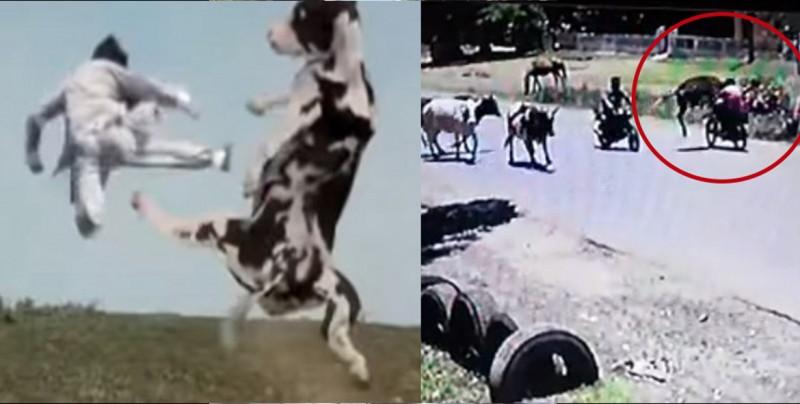 ¡Kung-Fu Vaca! derriba a motociclista de una patada