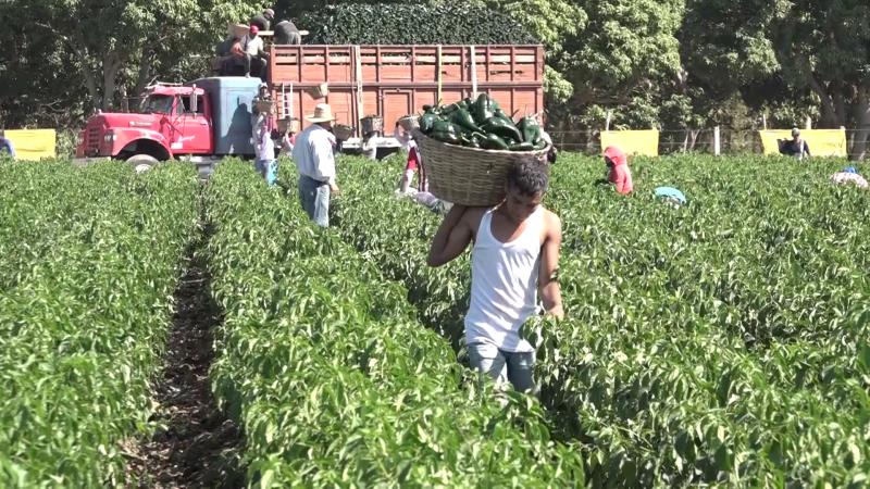 Caos agrícola viven los horticultores de Escuinapa