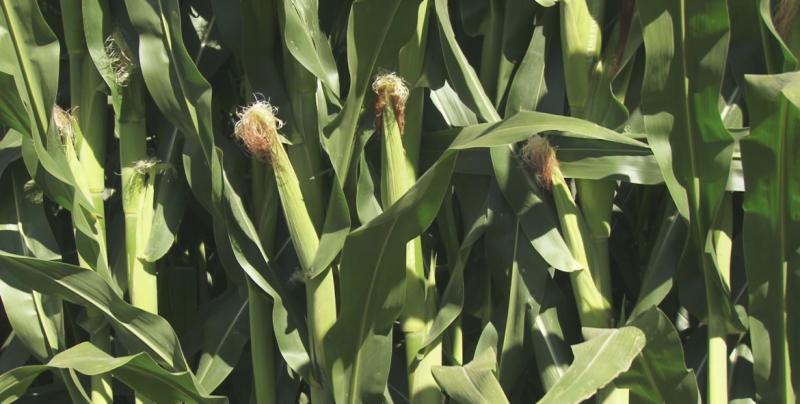 Buscarán mecanismos para atraer más recursos a productores agrícolas de Sinaloa