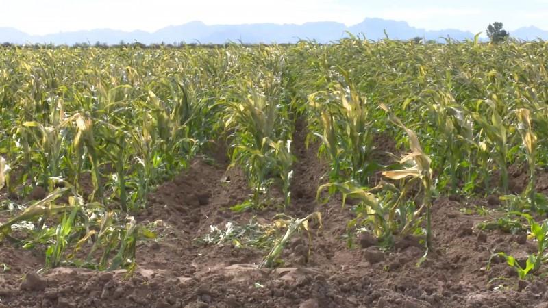 Productores evalúan daños en cultivos